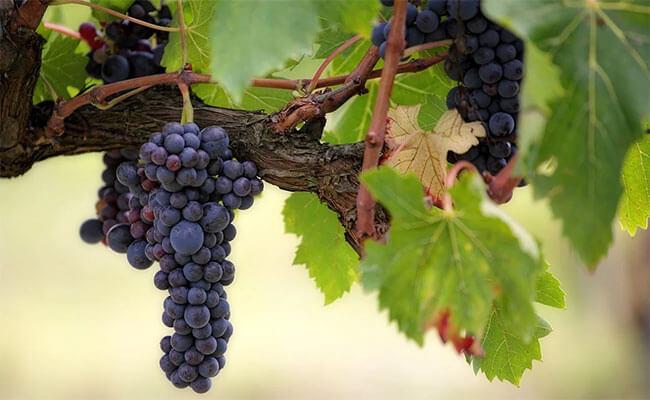 estrujado de las uvas