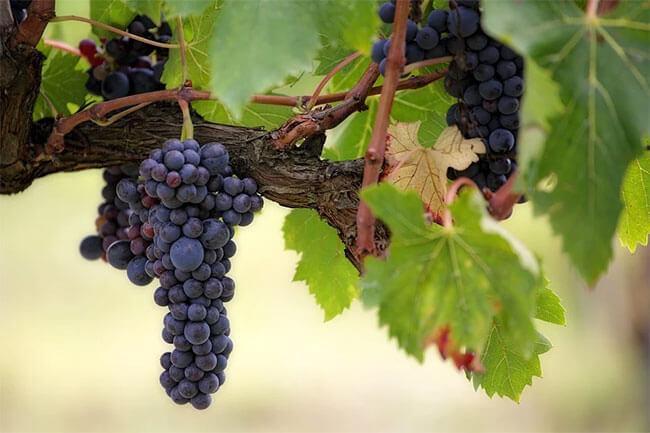 Tipos de uvas usadas en el vino chileno