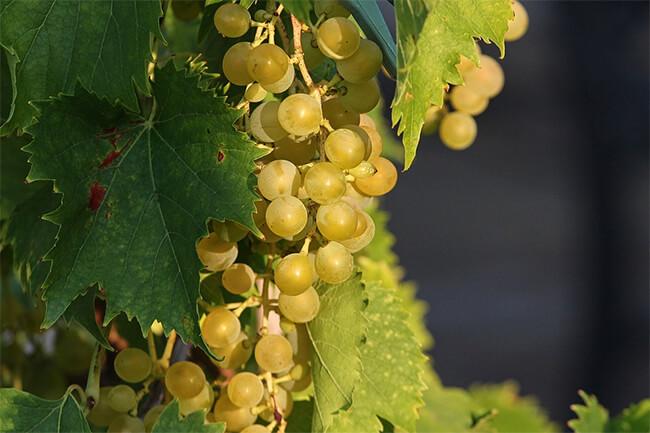 tipos de uva para vinos blancos