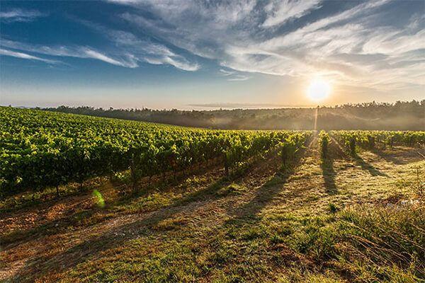 cultivo de vino de chile