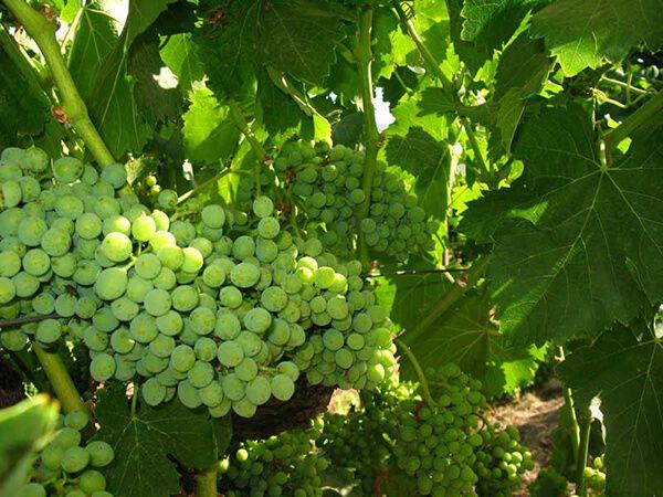 Uvas en el valle de guadalupe