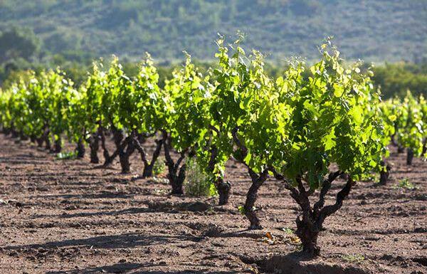 viñedos en la ruta del vino
