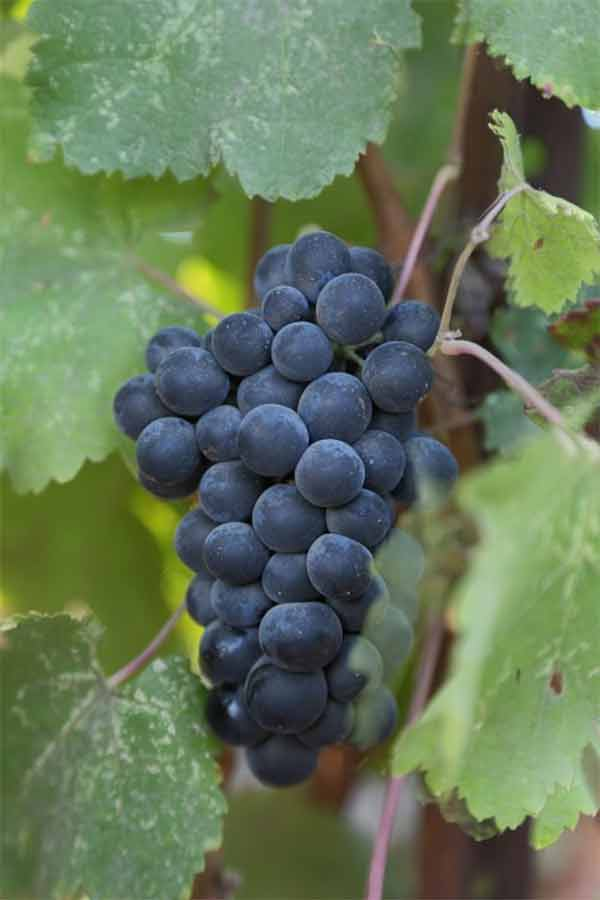 Cepa muy usada en vinos tintos argentinos